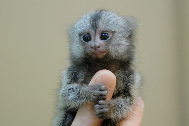 special-reports/finger-monkey.jpg